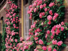 All what needs to know about roses climbers. Color and the to scent height