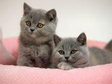 Pisicile miauna cu accent? Ce spun cercetatorii