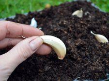 Cum se planteaza usturoiul