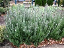Rosemary, spice what does need you included garden