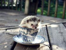 Japonia, tara cu cele mai multe cafenele cu animale! Noua moda: cafeneaua cu arici