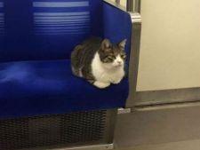 Curiozitati din lumea pisicilor! Felina care calatoreste singura cu metroul