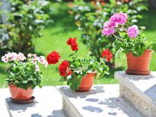 Cum sa ingrijesti corect muscatele pentru a avea un balcon plin de flori