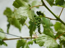 Grape-vines in  : month July what works needs to do any GC