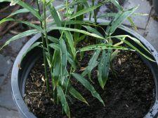Cum sa plantezi si sa cresti ghimbirul in ghiveci
