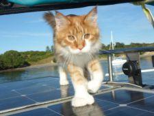 "O pisica din rasa Maine Coon, ""urechile"" unui marinar surd"