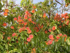 Diferenta dintre piersica si nectarina: ce trebuie sa stii despre cele mai indragite fructe ale verii