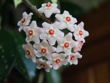 How to care for   correct Hoya or   Flower Wax