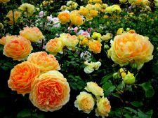 Cel mai simplu mod de a planta trandafiri! Ai nevoie de un cartof!