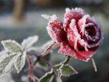 Pregateste trandafirii pentru iarna! Cum ii protejezi de inghet