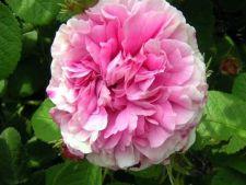 Trandafirii si efectele lor terapeutice. Cum poti conserva petalele de trandafir