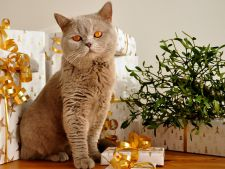 Protejeaza-ti pisica de Sarbatori! Iata la ce pericole este supusa in aceasta perioada a anului