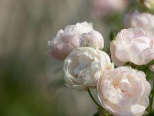 5 trandafiri pe care sa-i plantezi anul acesta in gradina
