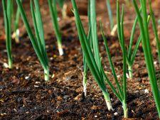 Cultivarea cepei din arpagic! Cand si cum se face