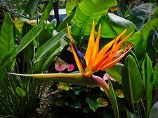 Strelitzia sau Pasarea paradisului, o planta superba de apartament! 6 varietati mai putin cunoscute