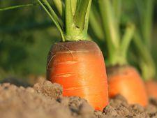 Cand si cum se planteaza radacinoasele: morcov, telina, pastarnac si patrunjel