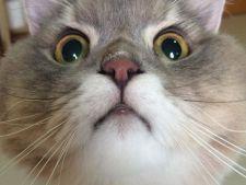 P'Bone, pisica uriasa alaturi de care toata lumea vrea sa se fotografieze! Arata precum un urs de plus