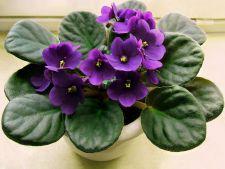 Violetele de Parma, cele mai frumoase flori de apartament! 7 trucuri de la florari