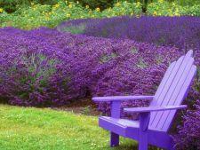 Cum iti cultivi lavanda placut-mirositoare in gradina ta