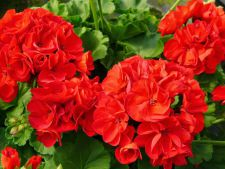 Cum sa ingrijesti muscatele pentru a fi pline de flori intreaga vara