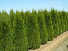 Tuia – coniferul perfect pentru orice gradina! Cum sa-l ingrijesti corect