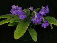 Streptocarpus, cea mai iubita planta de apartament! Cum sa o ingrijesti corect