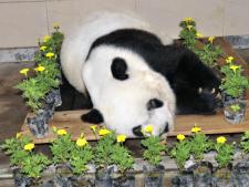 Basi, cel mai batran urs panda din lume, a murit! Iti amintesti cum mergea pe bicicleta? VIDEO