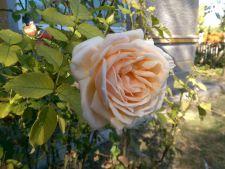 Fotografii de la cititori. Toamna cu temperaturi de peste 25 de grade Celsius si parfum de trandafiri