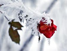 Vine iarna! Invata cum sa protejezi trandafirii de inghet