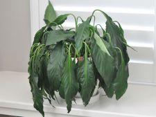3 ingrediente naturale ce salveaza plantele de la moarte