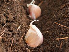Cand si cum se planteaza usturoiul