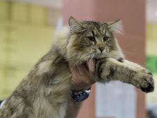 Peste 250 de pisici, la Expozitia Internationala Felina de Primavara – SofistiCAT!