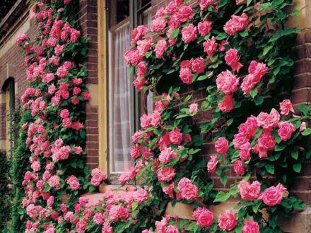 Tot ce trebuie sa stii despre trandafirii cataratori. Culoare si parfum la inaltime