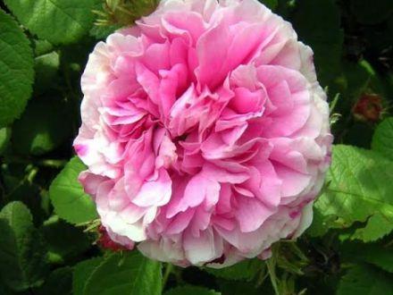 Expertul Acasa.ro, Viaceslav Buhna: Ce trebuie sa stii pentru a putea cultiva trandafiri de dulceata si ulei esential