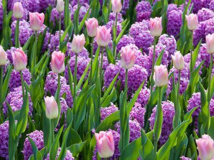 Trucurile despre ingrijirea zambilelor pe care orice gradinar le stie