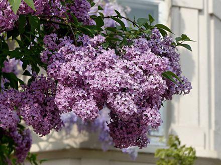 3 arbusti parfumati ce vor infrumuseta orice gradina