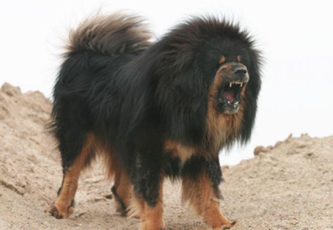 mastiff tibetan