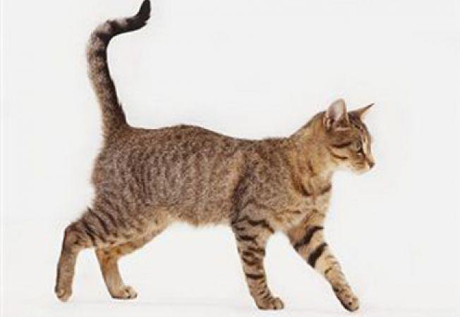 coada pisicii