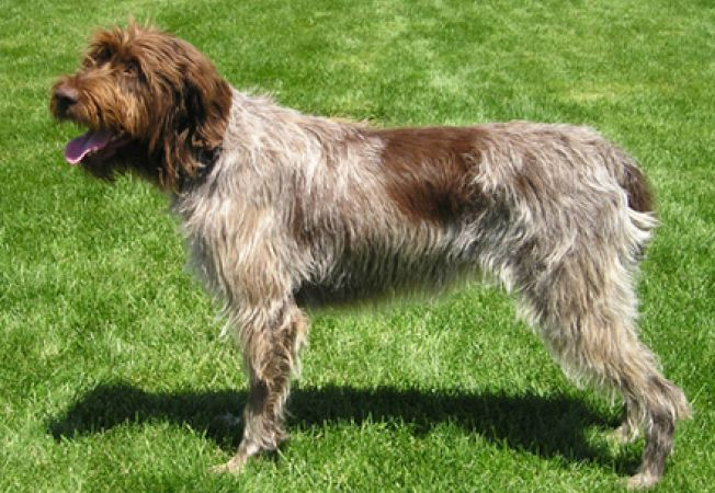 ... wirehaired pointing griffon caini animale rase wirehaired pointing