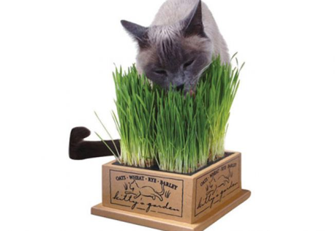 iarba pisicii