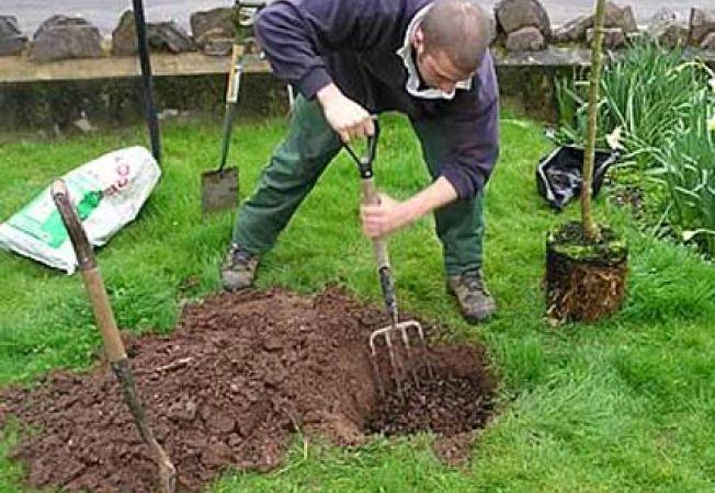 Plantarea pomilor