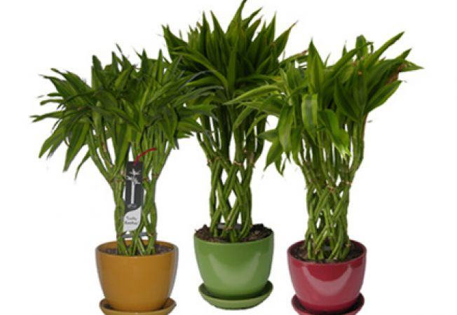 5 plante de apartament pe care trebuie sa le ai. Black Bedroom Furniture Sets. Home Design Ideas