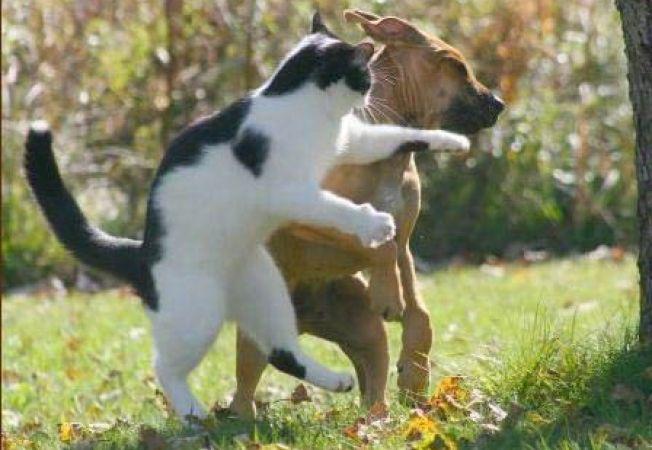 bataie catel-pisica