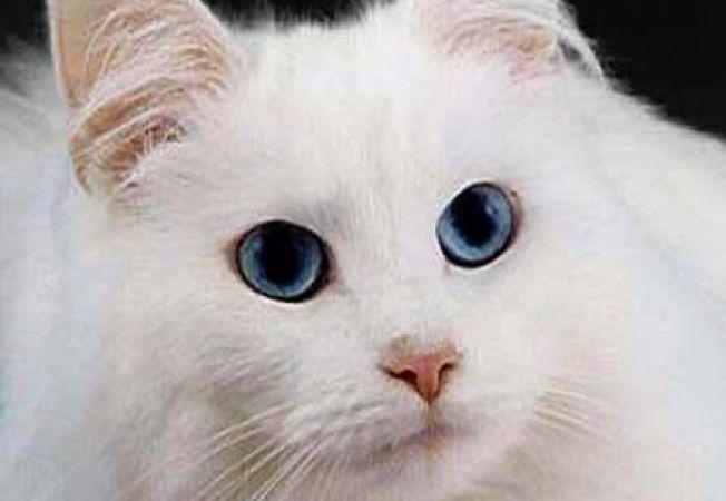 pisica surda