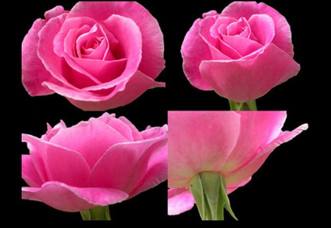 trandafir de damasc