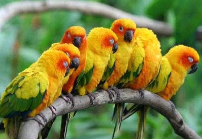 papagali conure