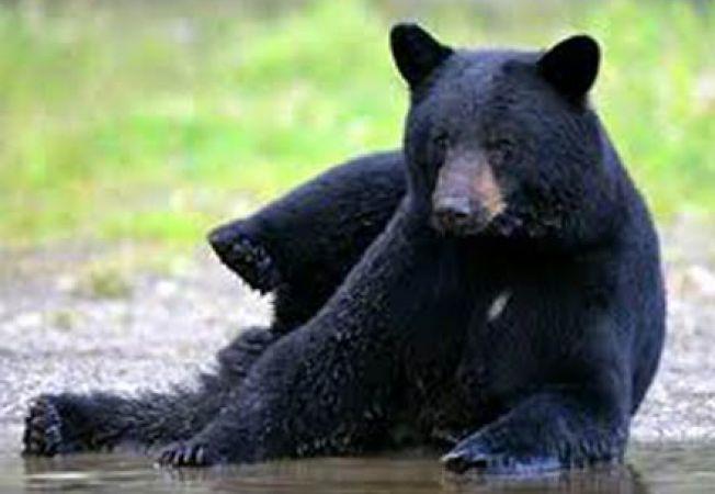 urs negru