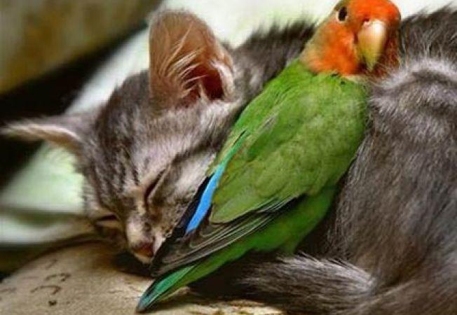 papagal si pisica