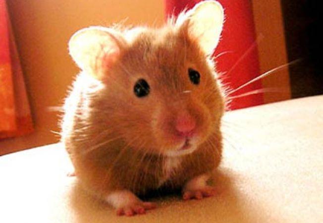 hamster sirian