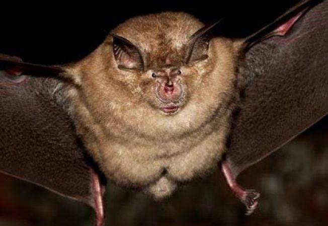 liliac vampir